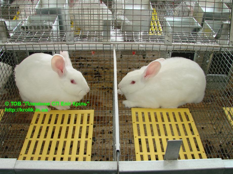 Продаются скороспелые кролики с хорошим иммунитетом породы Термонская белая, Калифорнийская, HYLA Krolik-ukr-001