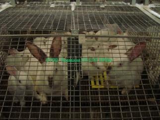 Купить кроликов недорого